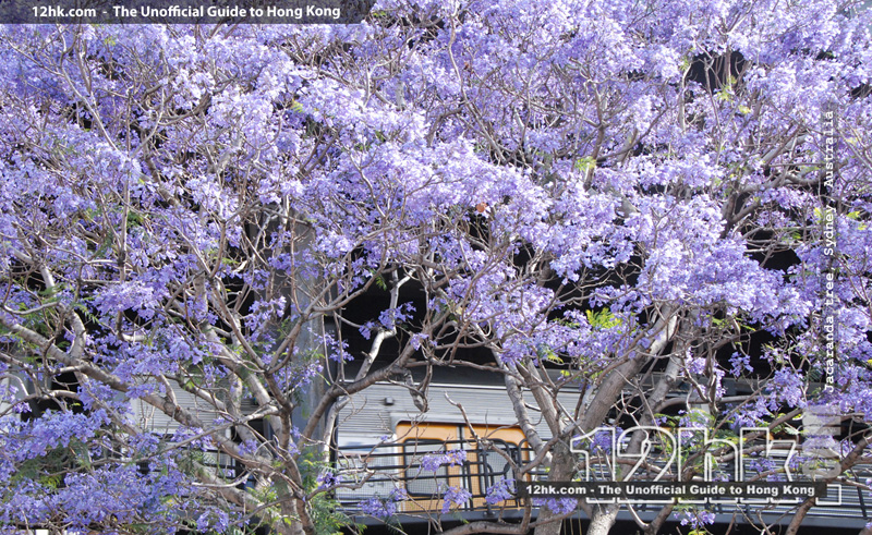 Jacaranda tree in full blomm, Sydney, Australia